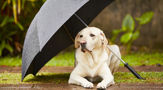 梅雨の時期に用心!犬の健康管理法
