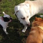 盲導犬の引退犬飼育ボランティアになりませんか?