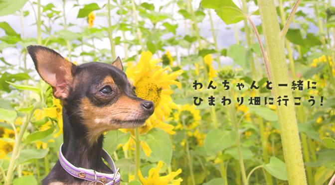 夏本番!わんちゃんと一緒にひまわり畑に行こう!