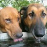 老犬の熱中症対策