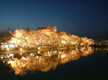 new_臥竜公園_夜桜