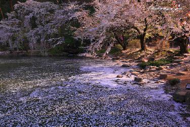 new_臥竜公園_桜吹雪
