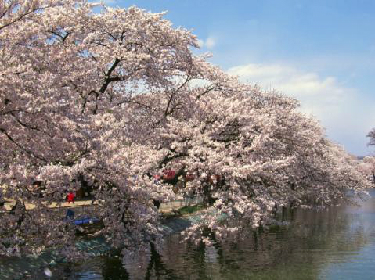 new_臥竜公園_桜3